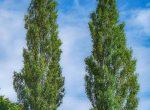 poplar trees Woodford Park